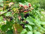 summer blackberries